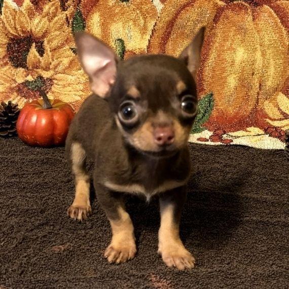 Chino Chihuahua Puppy 572434 Puppyspot Chihuahua Chihuahua