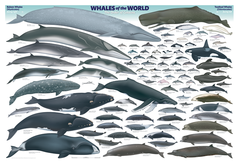 Whales of the World\' poster by Uko Gorter Natural History ...