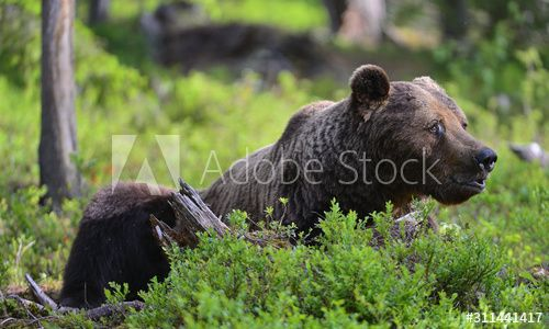 Adult Brown bear lies in the pine forest. Big brown bear male. Close up portrait. Scientific name: Ursus arctos. Natural habitat. , #affiliate, #forest, #pine, #brown, #Big, #Brown #Ad