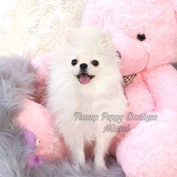 Pomeranian Puppy For Sale In Miami Fl Adn 54778 On Puppyfinder