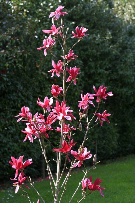 Burgundy star magnolia is a narrow upright tree and for Narrow trees for tight spaces