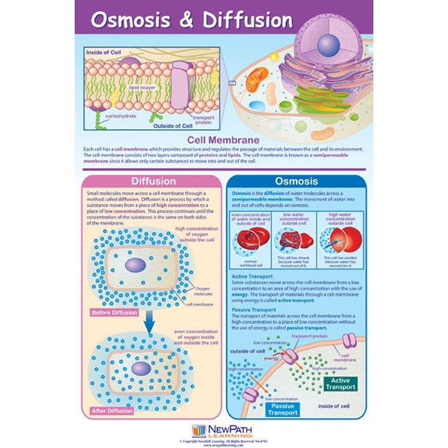 Osmosis Diffusion Poster Laminated school stuff – Diffusion Osmosis Worksheet