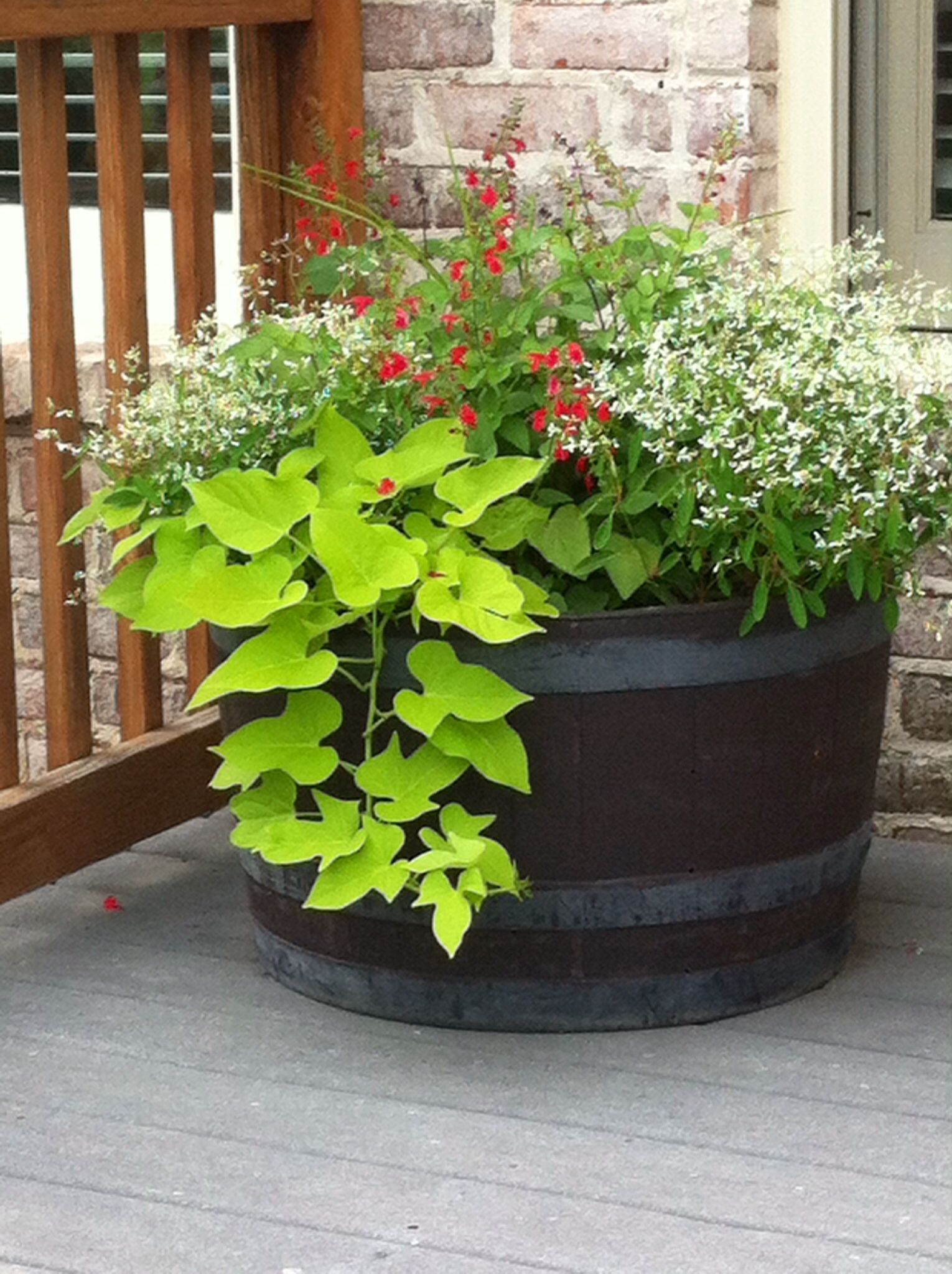 full sun whiskey barrel container garden with lime green sweet potato vine,white diamond frost, pink geranium, red salvia,and purple thai basil that is wonderful to have right outside on your deck for salads and stir fry dishes.