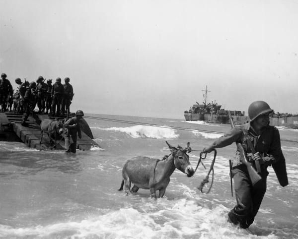 August, 1943: American soldiers lead mules through surf towards beach for use as pack animals to transport supplies over Italy's rugged terrain.