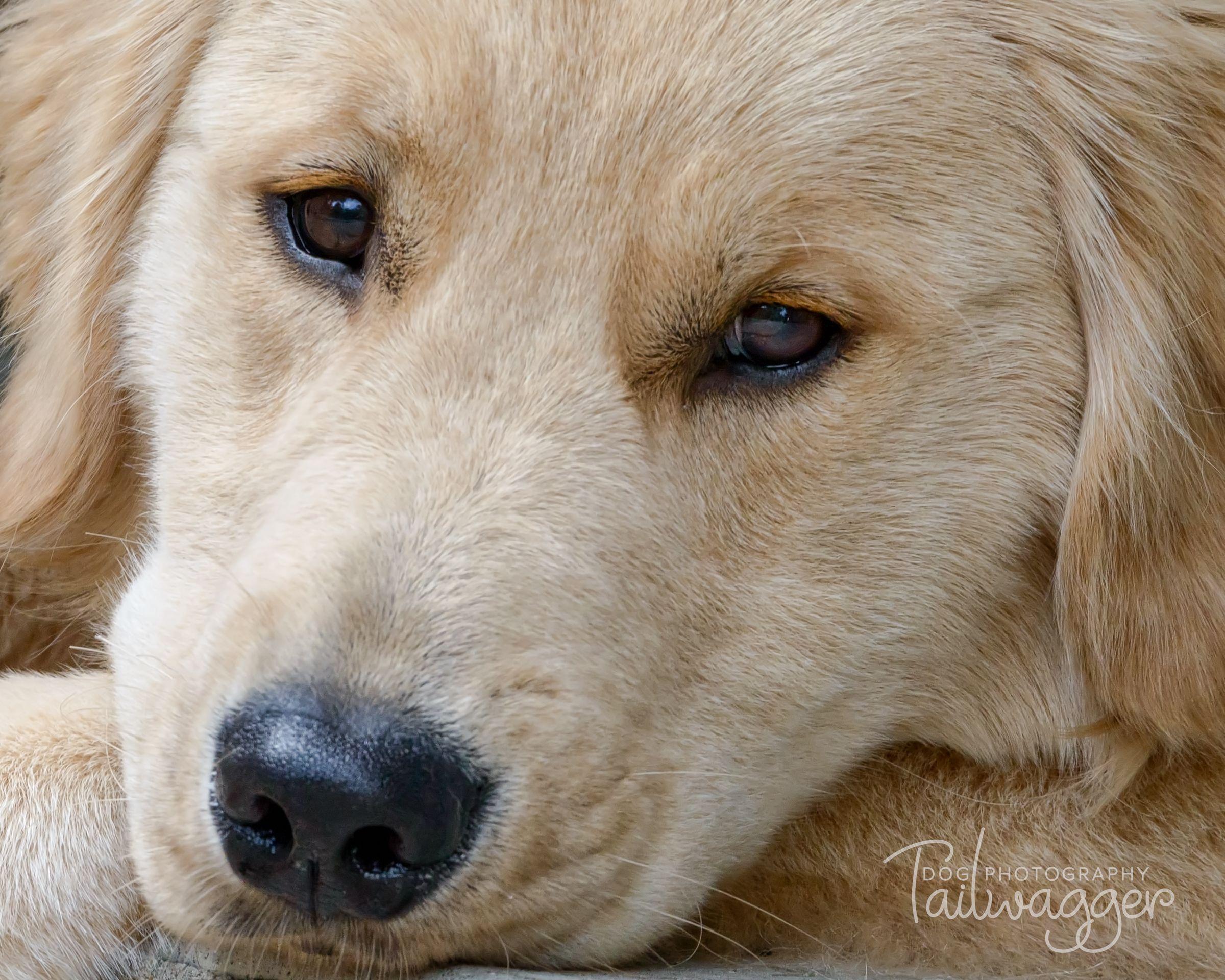 Look At Those Eyes Goldenretriever Dogphotography Dogphoto