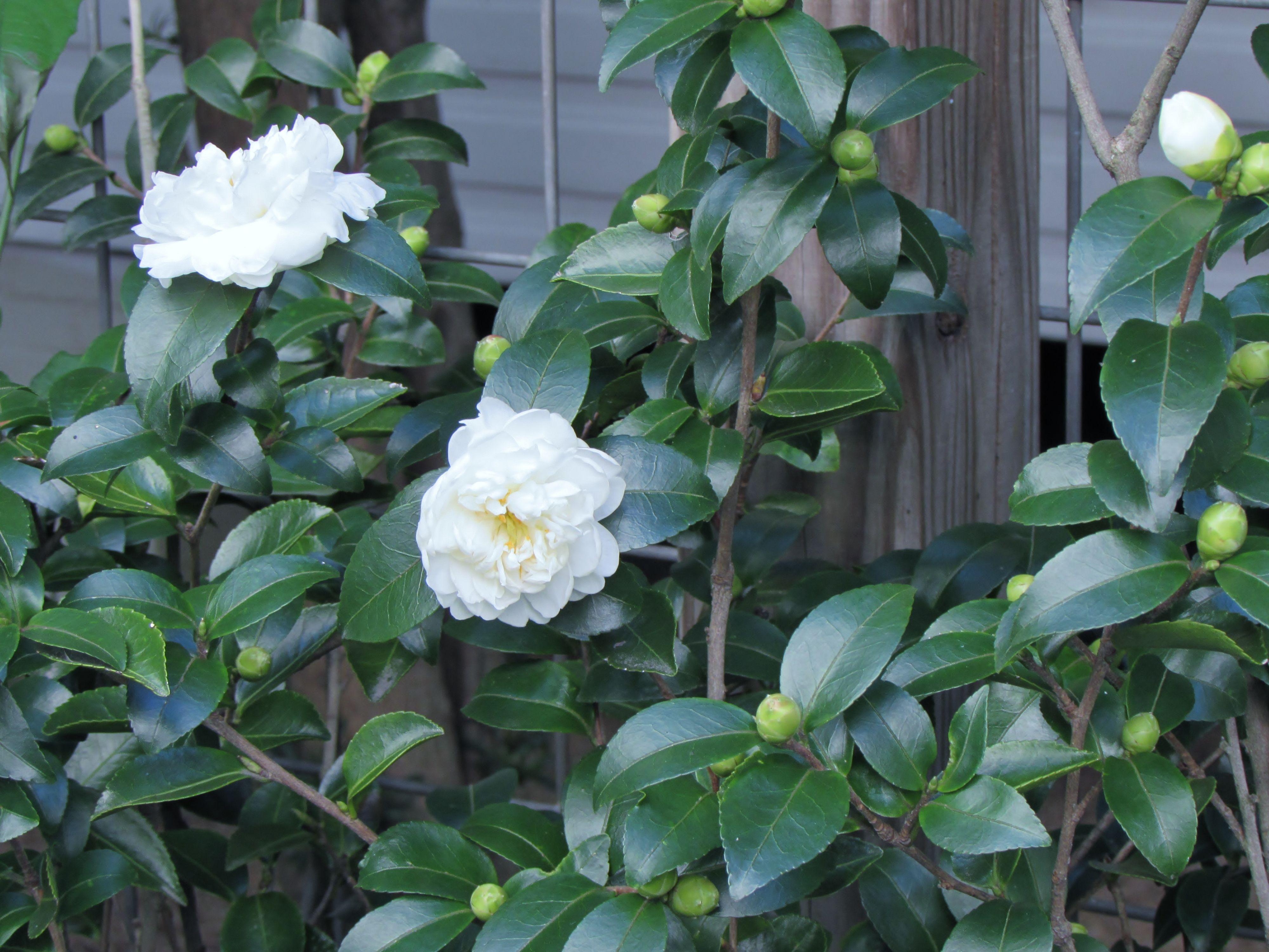Garden Bloggers Bloom Day Sasanqua Camellias In My Garden