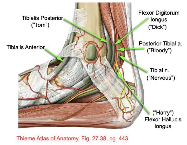 Pin On St Barts Anatomie
