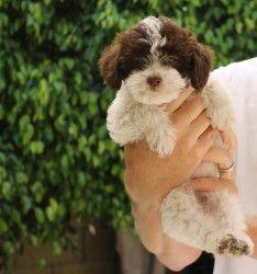 Adopt Layla On Tibetan Terrier Dogs Dog Adoption