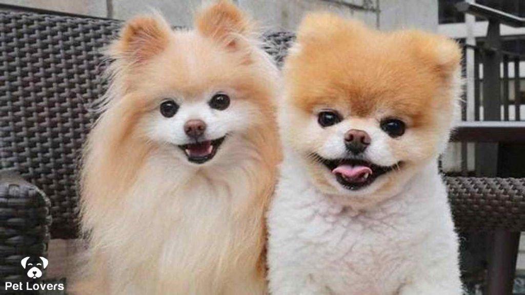ویژگیهای رفتاری سگ پامرانین World Cutest Dog Cute Dogs Dogs