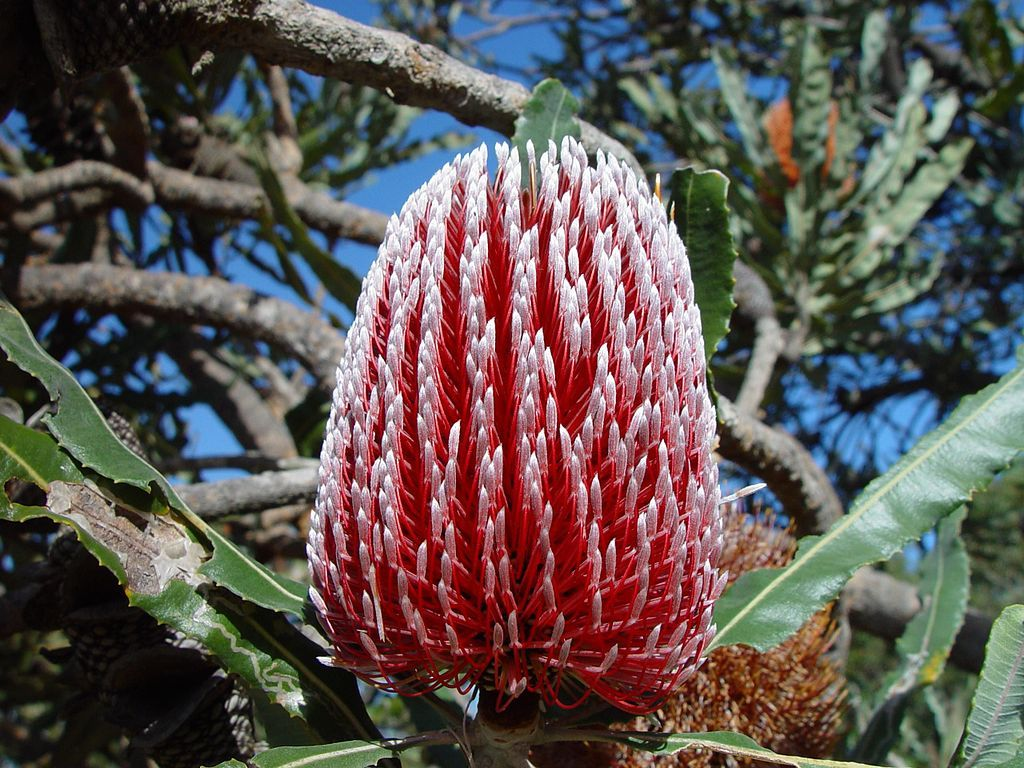 Red Banksia Flowers Australian Wildflowers Flower Spike