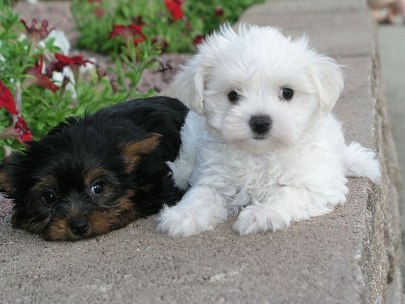 Information About Dog Breed Shichi Chihuahua X Shih Tzu Conny West Highland White Terrier Und Rocco Shih Tzu Shih In 2020 Shih Tzu Puppy Dog Breed Photos Pretty Dogs