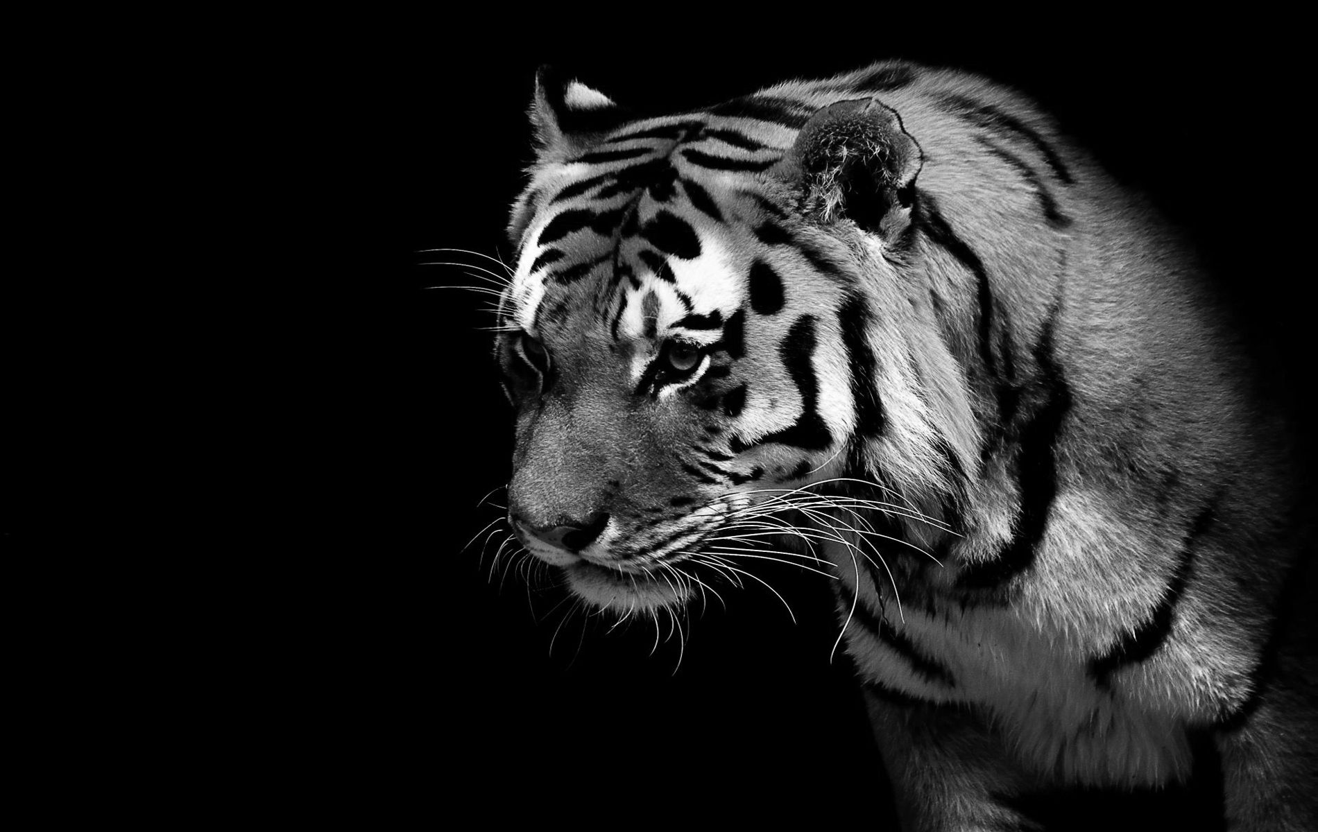 Tiger images black and white wallpaper inspiring ideas tiger