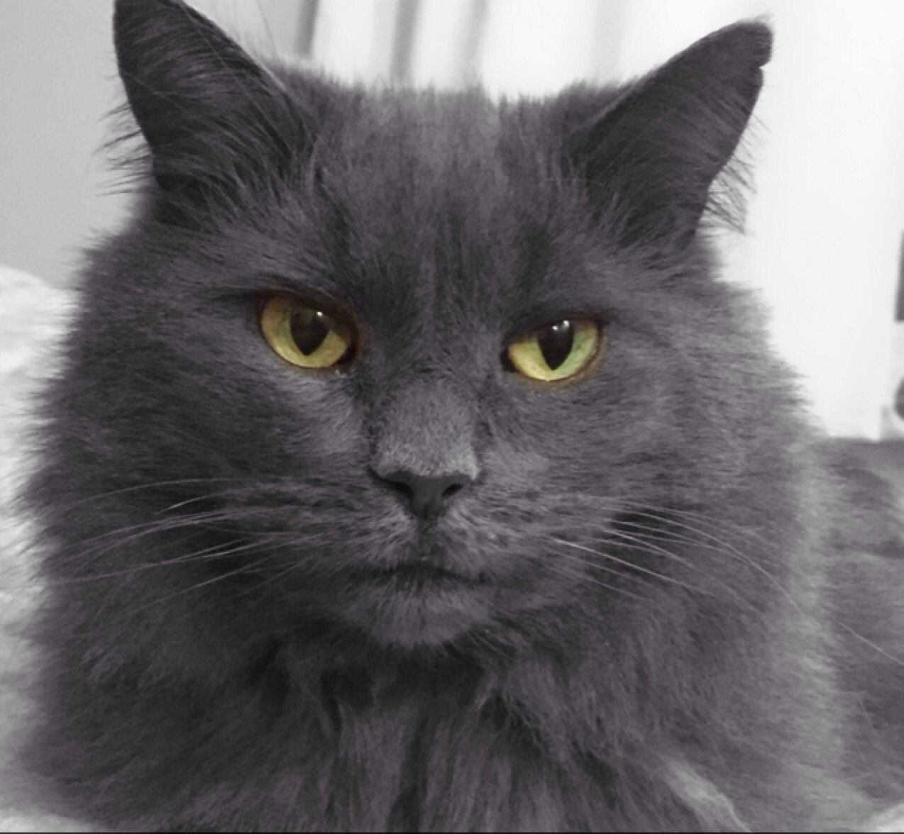 Green eyes beautiful Persian grey cat