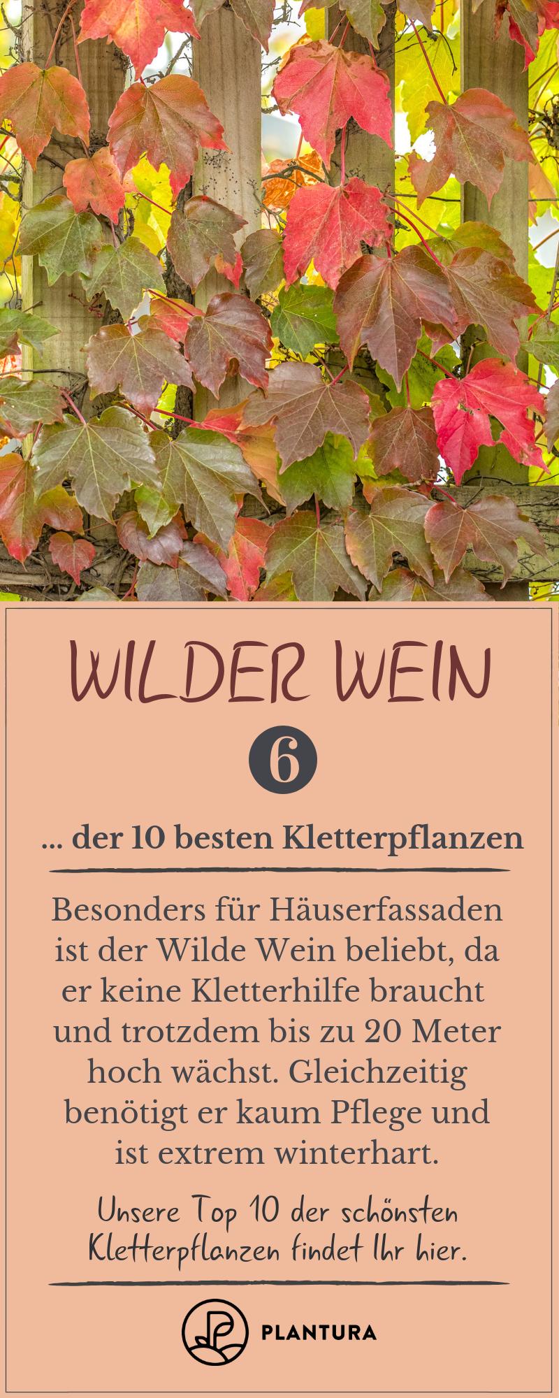 Kletterpflanzen: Die 10 Besten für Zäune & Mauern - Plantura