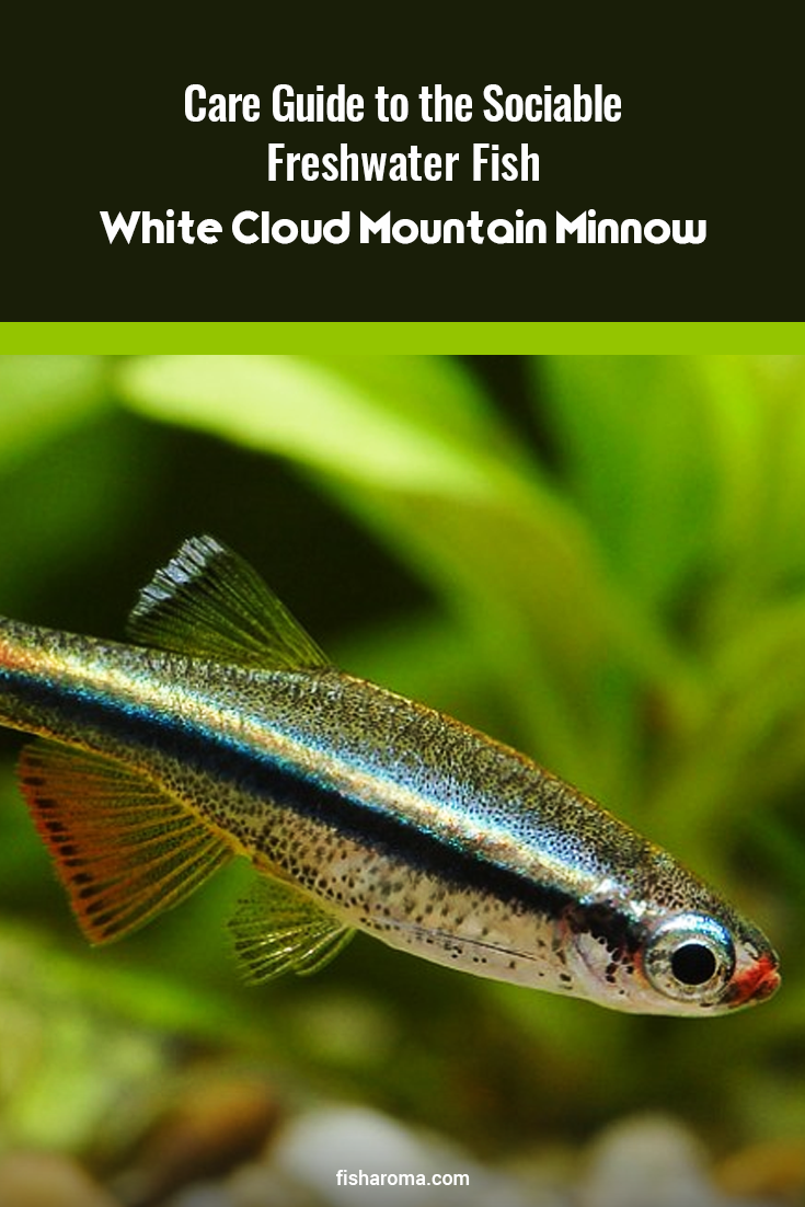 Care Guide To The Sociable Freshwater Fish White Cloud Mountain Minnow In 2020 Tropical Freshwater Fish Tropical Fish Aquarium Freshwater Fish