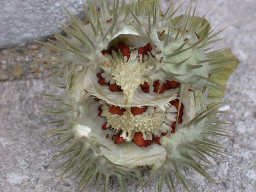 """This """"The Medieval Garden Enclosed"""" blog post, """"Dangerous Beauty,"""" details the beautiful but sinister thorn apple (Datura metel), a powerfully hallucinogenic plant employed in medieval magic as well as medicine. #Cloisters"""