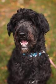 Canada Shadow Is A Large 4yo Neutered Aussie Doodle Who Prefers