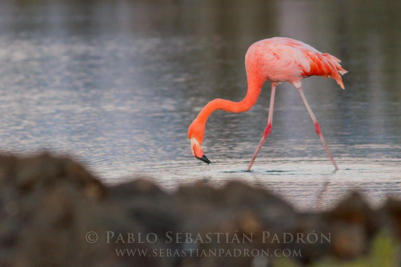 Phoenicopterus ruber by Sebastian  Padron on 500px