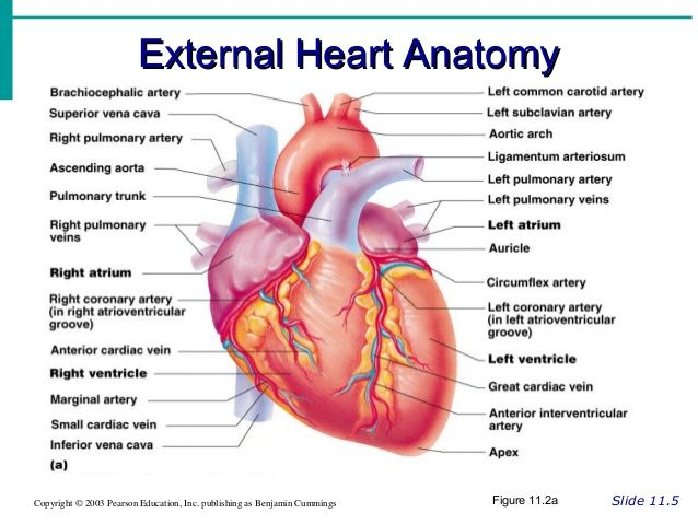 cardiovascular powerpoint recent anatomy of the heart exercise 20 ...