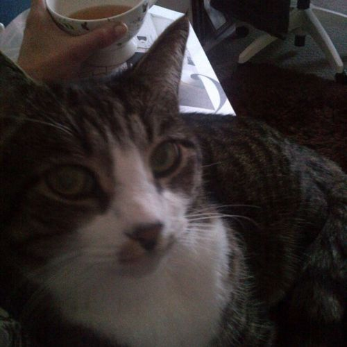 LOST Dorian http//ow.ly/DTzdc Male, Grey White Black
