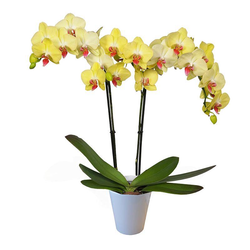 Orquídea natural en maceta de cerámica   Lo nuevo en Costco.com.mx ...