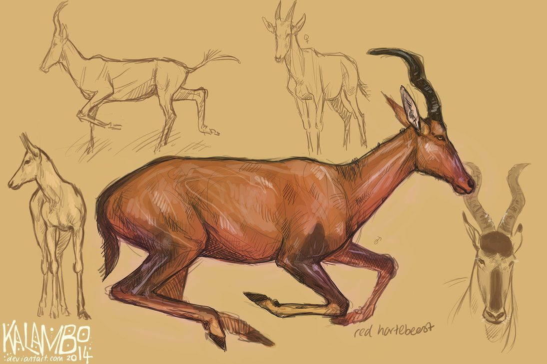 Red hartebeest by kalambo | Dessin - Artiodactyles | Pinterest ...