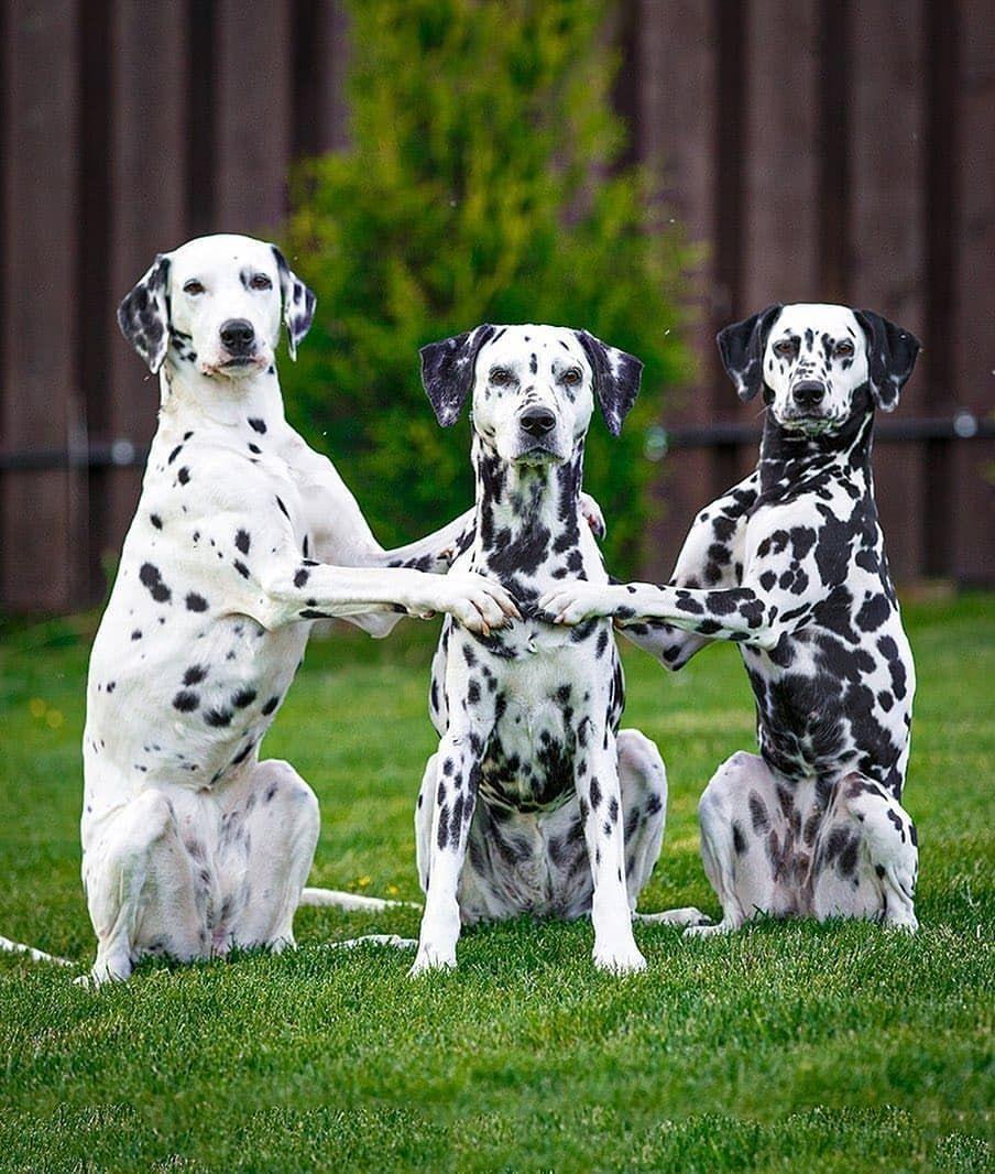 credit laini_alartlain... in 2020 Dalmatian puppy