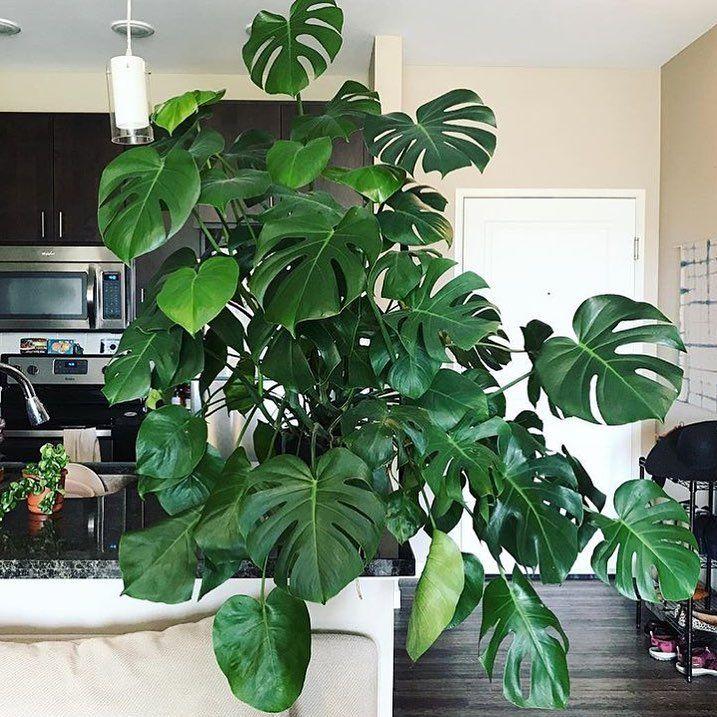 Split Leaf Philodendron Plants Indoor Plants House Plants