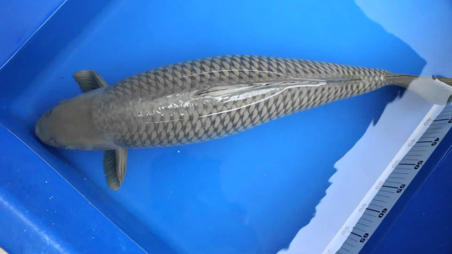 Marusei Chagoi Koi Fish Pond Koi Koi Fish