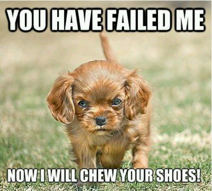 Cute Mad Dog Lol King Charles Puppy Cavalier King