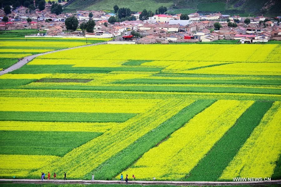 CHINA-QINGHAI-MENYUAN-RAPE FLOWER-SCENERY (CN)