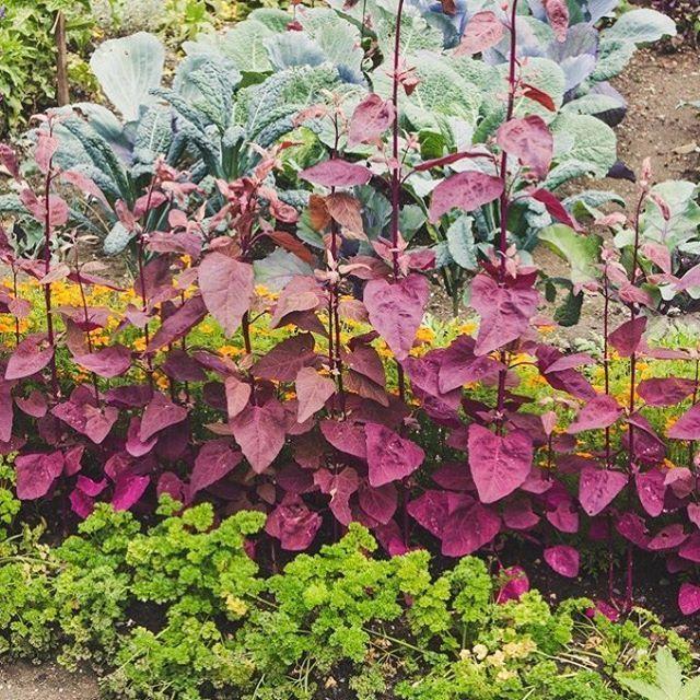 Mein Beitrag zur Vielfalt: sortenechtes Saatgut für selbstbezogene Pflanzen verwenden. Weil Vielfalt besser schmeckt. Mir, dem Garten und den Insekten, Schmetterlingen, Bienen und Hummeln. #biogarten #sortenvielfalt #sortenechtessaatgut #satgut #bauerngarten #gemüsegarten #nutzgarten #gemüsegartenanlegen