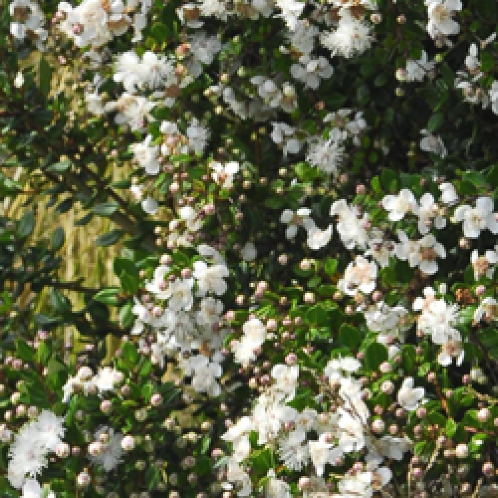 Luma Apiculata Myrtus Luma Pepiniere Petit Arbre Arbuste