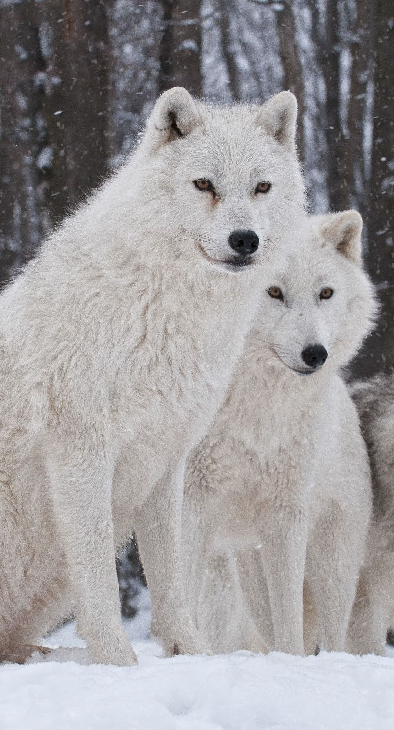 Pin by Snezana Miletic on Wolves Animals, Majestic