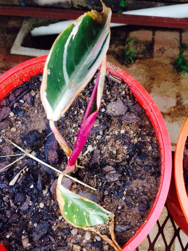 Free Plant Identification Large flowers, Canna lily, Plants