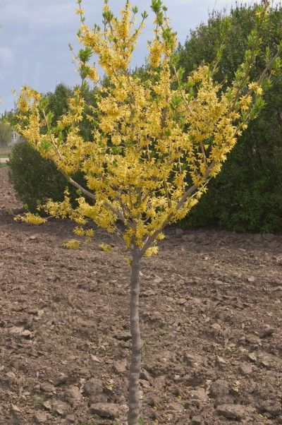 Northern Sun Forsythia Tree Form Bailey Nurseries