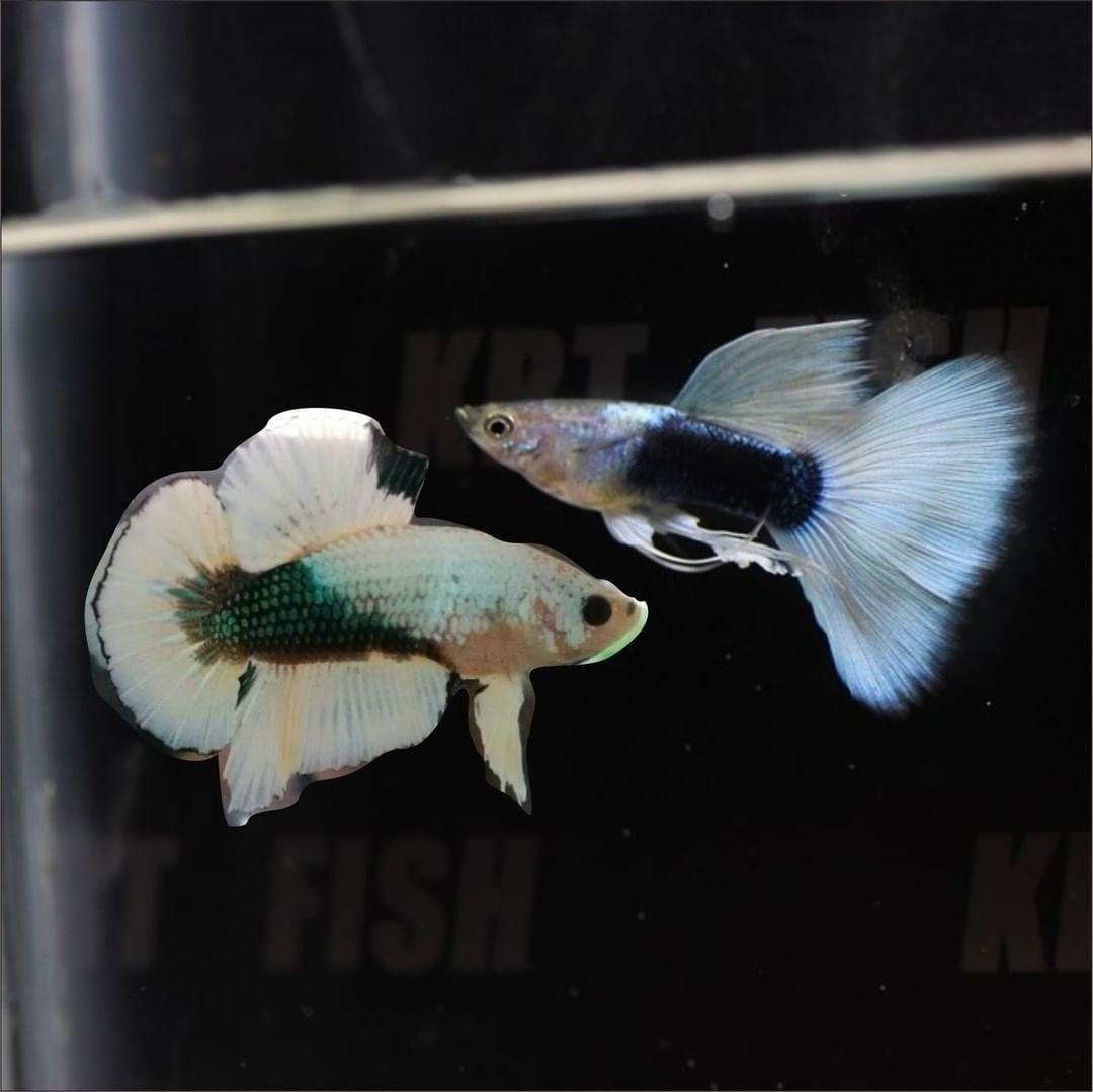Pin On Guppy Fish