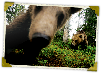 You can spend an exciting night in a bear hide in Kuhmo or in Suomussalmi.