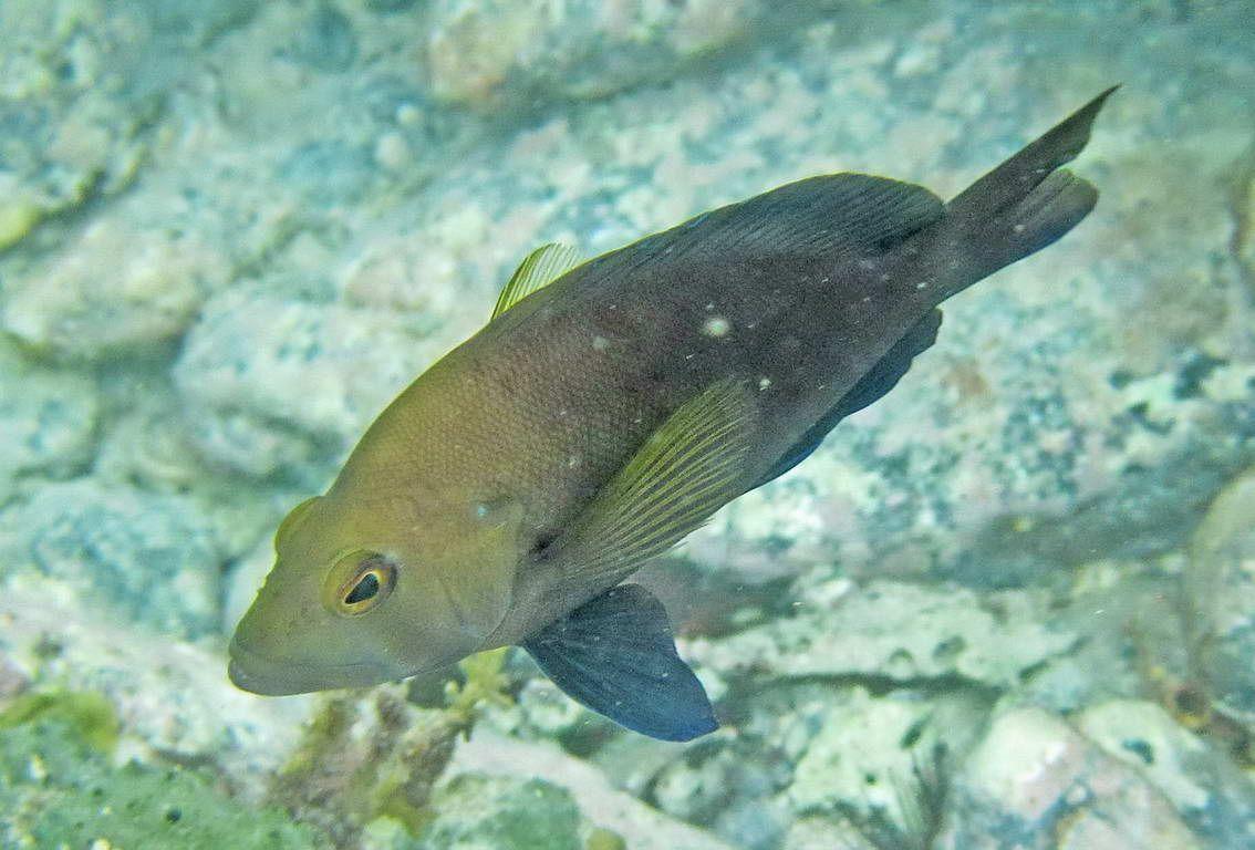 virgin islands fish images | Parrot, Yellowtail and Sergeant Majors 2) Parrotfish, Stoplight ...