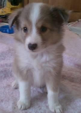 Sable Merle Sheltie pup