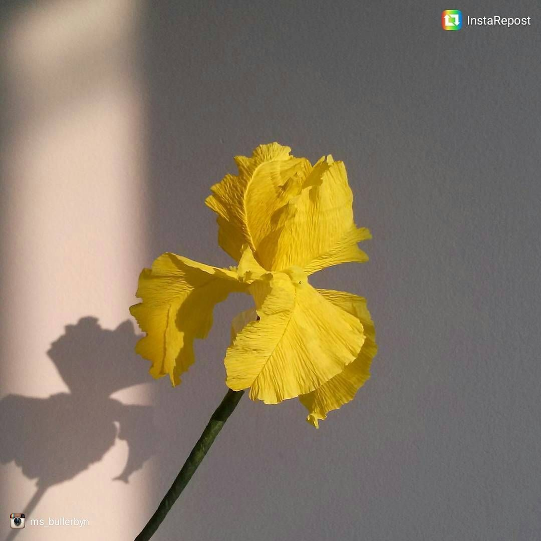 Waiting for spring hereus a crepepaper yellow iris by