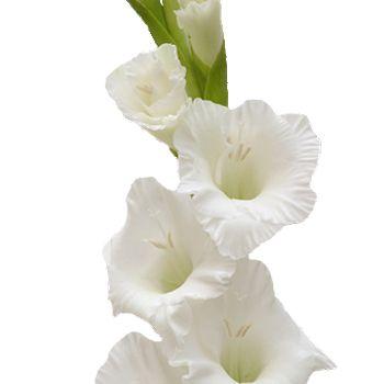 Gladiolus white flower gladioli gladiolus flower and flower gladiolus white flower mightylinksfo