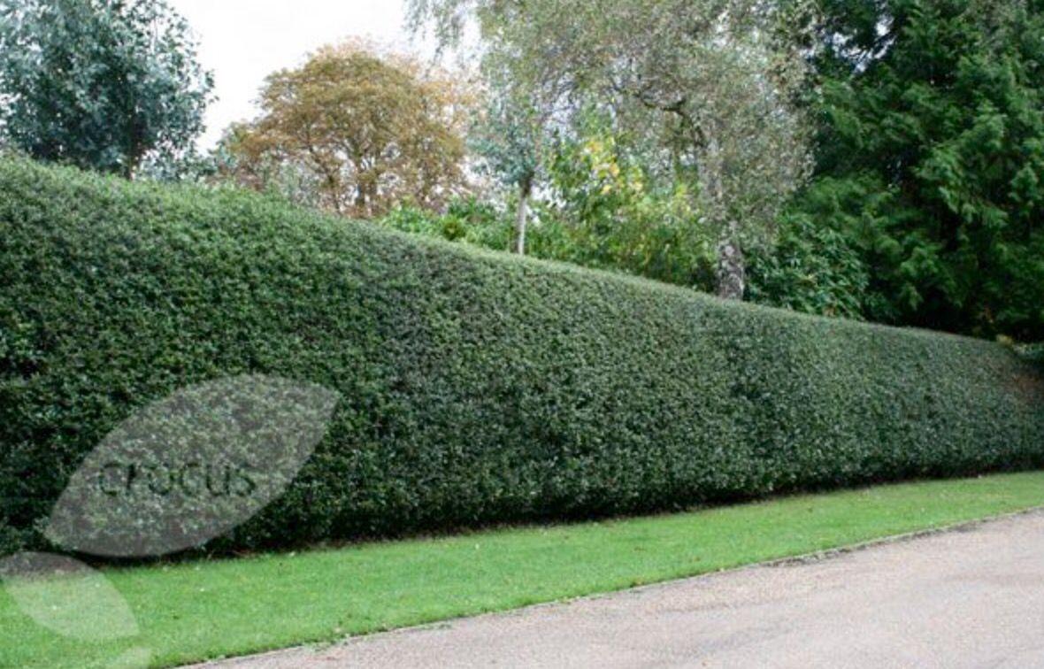 tea olive hedge line driveway