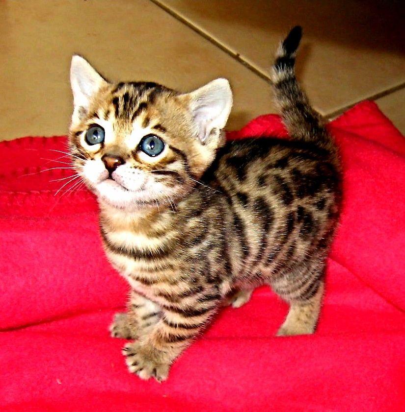 A Very Cute Bengal Kitten Bengal Kitten Kittens Cutest Cats And Kittens
