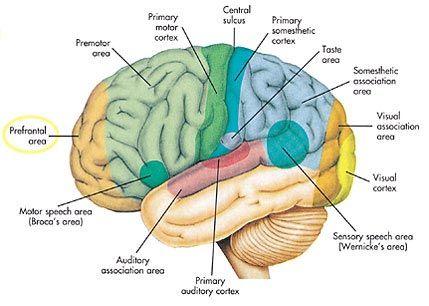 نتيجة بحث الصور عن areas of the brain | Anatomy & Medical ...