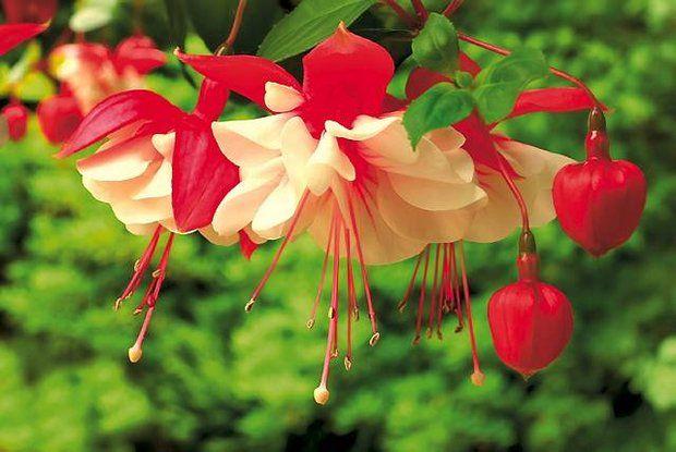Rosliny Balkonowe Najdluzej Kwitnace Kwiaty Plants Flowers Garden