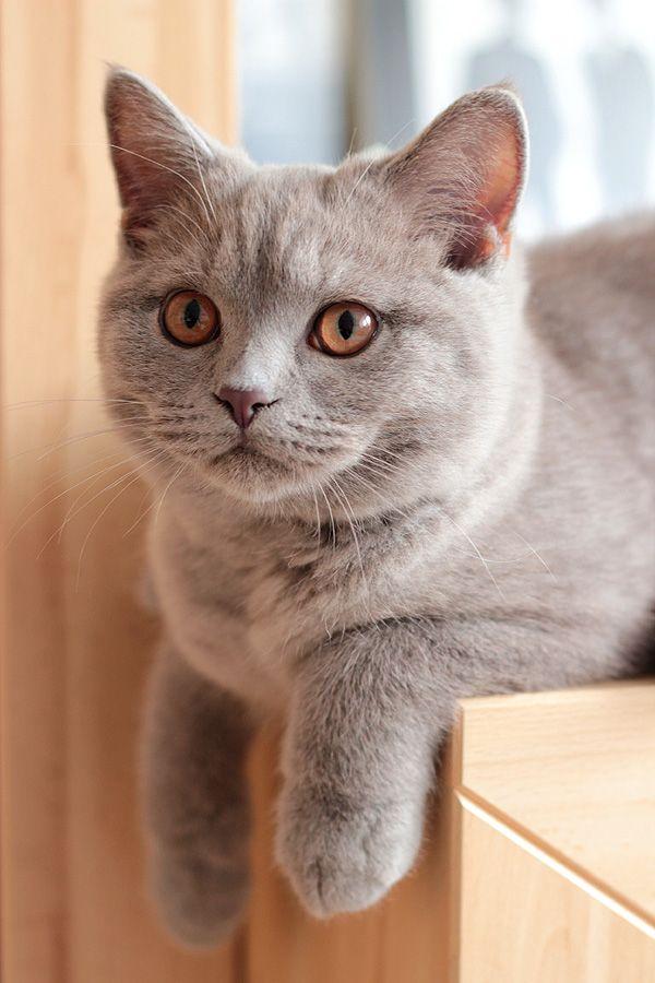 Britishshorthair Kotbrytyjski Mooie Katten Schattige Katten Brits Korthaar