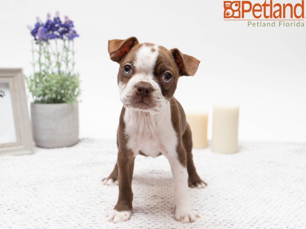 Petland Florida Has Boston Terrier Puppies For Sale Check Out All Our Available Puppies Bostonterrier P Boston Terrier Puppy Puppy Friends Boston Terrier