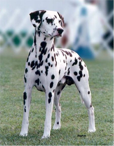 Beautiful Dalmatian Makes Me Grieve Even More For My Beloved