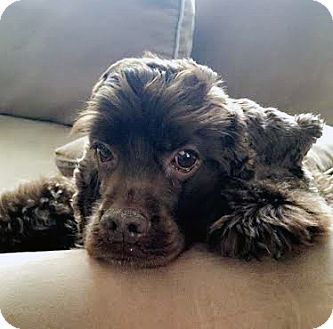 Pictures Of Koko A Cocker Spaniel For Adoption In Detroit Mi Who Needs A Loving Home Cocker Spaniel